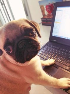 Just working!!! #pugfanatic