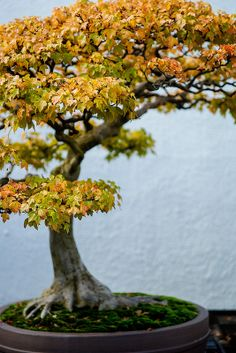 The National Bonsai and Penjing Museum Trident Maple {The Tree Topper (CC BY-NC-ND)}