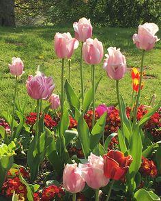#tulips in the local park #tulip #tulpen #tulipani #flowers #flowerstagram #flowerstalking #nature #nature_perfection #ponyfony_flowers #lobotany #urbangardenersrepublic #urbangarden #mygarden #botanical #pink #pinkflowers #colorful #colorpop #colormagic #flowermagic #floweroftheday #flowerpower #flowerporn