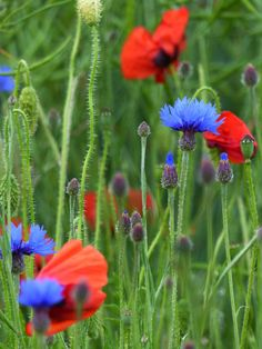 Poppies and cornflowers majored until the end of July - France flowers - Bleuets et coquelicots ©www.image-gratuite.com