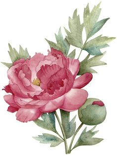 Peony | Peony illustration. An illustration for Australian H… | Flickr