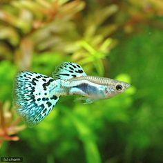 (熱帯魚)シルバーブルーグラスグッピー(国産グッピー)(1ペア) 北海道・九州航空便要保温