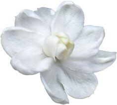 transparent-flowers:  Jasmine. (x).
