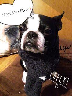 ボストンテリアのカールさんの暮らし: 靴下をリメイク!犬用のマフラーが簡単に出来ちゃう⁉「わんこさん用マフラー」の作り方