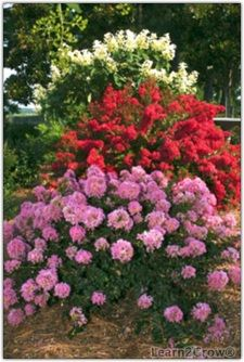 Dwarf Crape Myrtles - Would love to do this on the sides of the front entry. Planting Shrubs, Landscaping Plants, Front Yard Landscaping, Planting Flowers, Texas Landscaping, Landscaping Ideas, Dwarf Plants, Sun Plants, Blooming Plants