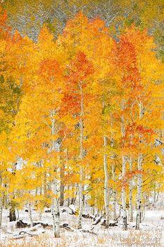 Autumn aspen grove with snow at Soapstone Summit, Uinta Mountains, Utah / David C. Schultz