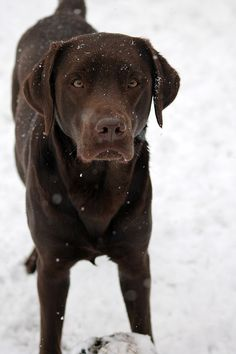 Dog Breeds Top 10 dog breeds for hiking Labrador retrievers - These are my picks for the ten best dog breeds for hiking. Do you love to hike? Dogs love to hike also, some breeds more than others. Here is a list of dog breeds that love outdoor adventures. Top 10 Dog Breeds, Best Dog Breeds, Best Dogs, Saint John, Labrador Retrievers, Retriever Dog, Labrador Puppies, Hiking Dogs, Dog List