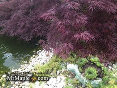 The classic 'Tamukeyama' which has been a favorite Japanese maple for gardeners for over 300 years.
