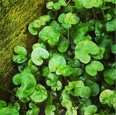 The leaves of Gotu Kola are used tonically in teas or tincture to help with stress, anxiety, and memory. It is also used to promote tissue repair (after surgery or injury). Gotu Kola grows lushly in containers, or in the ground (zone 7 +). Centella asiatica. || The Chestnut School of Herbal Medicine on Instagram