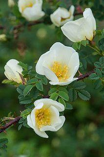 Rosa spinosissima 'Dunwich Rose'