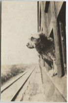 """Black and white photograph of a dog leaning out the window of a moving train. Written on back of image: """"[words missing] mascot. Dinty was picked up in Okla. and served with this Co. at the Mexican border. Picture is taken aboard troop train for Augusta, Ga. training camp, while passing [word missing] Virginia Aug. 1917. Dinty can salute, stand at attention and [words missing]. Also understands soldiers as [words missing] by a born soldier"""".  From the service of Harold D. Cooper, Company A…"""