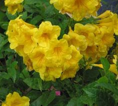 PlantFiles Pictures: Tecoma, Esperanza, Trumpet Flower, Yellow Bells 'Sundance' (Tecoma stans) by AnniesAnnuals Yellow Flowers, Flowers, Yard Landscaping, Trees To Plant, Shrubs, Perennial Plants, Cottage Garden, Perennials, Plants