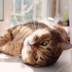 Photo by @viktory_ge Our hashtag #club_of_cats #instacat #cat #cats #kitty #коты #безкотаижизньнета #котики #котэ #кошки #neko #gato #gatto #chat #katze #funnycat #catlover #catsofinstagram #catstagram #catlove #kittycat #kittys #kittygram #animals #pet #pets