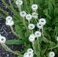 Show details for Helichrysum bellum