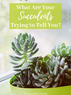What is your succulent telling you? Improve your succulent care by learning to recognize and understand 8 signs your succulents display to show they are overwatered, underwatered, need more light, more shade - and much more! #succulents #succulentcare #overwateredsucculents #underwateredsucculents How To Water Succulents, Succulents Drawing, Colorful Succulents, Planting Succulents, Succulent Display, Succulent Soil, Ripped Women, Cell Wall, Plant Needs