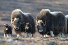 Muskox mothers and their new calves - photo by Dan J. Cox, taken in Alaska Large Animals, Animals Images, Animals And Pets, Baby Animals, Funny Animals, Cute Animals, Wild Creatures, All Gods Creatures, Musk Ox