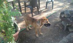 Koko es un cruce de pastor alemán, macho y muy jovencito. Lo encontró un chicoandando por una carretera,... #adoptar #mascotas #adopcion #perros #gatos