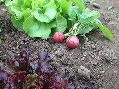 Erste Ernte Plum, Fruit, Food, Harvest Season, Essen, Meals, Yemek, Eten