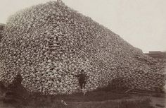 hick-ups: A photograph from the 1870's showing tens of thousands of bison skulls. They were mass slaughtered by the U.S. Army to make room for cattle and force Native American tribes into starvation.  ..