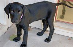 Piper the Labrador / Beagle