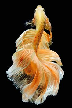 Some interesting betta fish facts. Betta fish are small fresh water fish that are part of the Osphronemidae family. Betta fish come in about 65 species too! Pretty Fish, Beautiful Fish, Cool Fish, Beautiful Things, Colorful Fish, Tropical Fish, Beautiful Creatures, Animals Beautiful, Animals And Pets