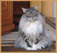 Maxwell - silver tabby Maine Coon
