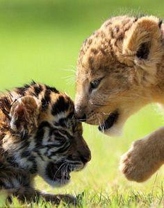 """""""HEY LITTLE TIGER!""""  . . .  """"HI LITTLE LION!"""""""