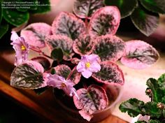 African Violet 'Namely Nancy' (Saintpaulia)