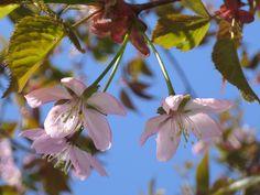Kirsikat kukkivat, hanami ja Roihuvuori