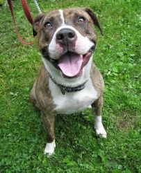 Gypsy is an adoptable Pit Bull Terrier Dog in Monroe, CT.  PLEASE COME AND MEET ME! SATURDAYS