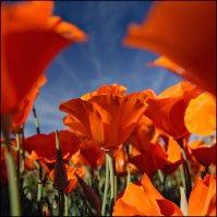 Perpetual Bloom - Flowers / Leaves / Rocks - The Work by Peter Lik Peter Lik Photography, Outdoor Photography, Macro Photography, Nothing But Flowers, Love Flowers, Beautiful Flowers, Orange Poppy, Orange Color, Orange Crush