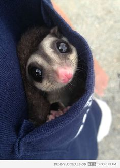 """Cute sugar glider in a pocket! He says """"please don't forget to check your pockets before washing your clothes!"""""""
