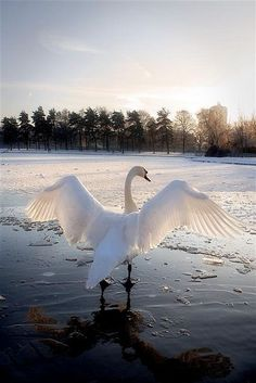 THE FAIRY SWAN- My Name is Bonnie Anne and I am 60 years old. Disclaimer: All images are copyright to their respective owners. Animals For Kids, Animals And Pets, Beautiful Creatures, Animals Beautiful, Swan Wings, Swan Animal, Beautiful Swan, Finding Neverland, Quotes About Photography