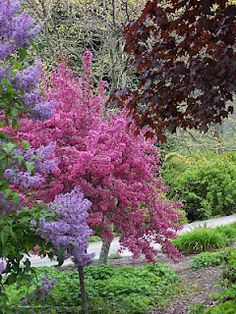 Malus 'Prairifire', An Evening Walk Flowering Crabapple, Flowering Trees, Trees And Shrubs, Apple Garden, Prairie Fire, Pink Trees, How To Attract Birds, Love Flowers, Spring Time