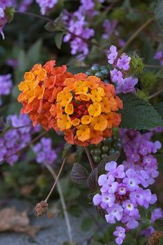 FULL SUN Lantana...especially purple....dies back in winter but blooms profusely with little water in full sun...loves heat