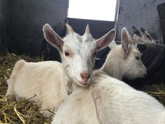Little goats  Instagram; @ellislarissa.h @thelittleflockfarm