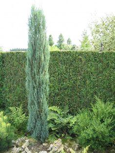 juniperus communis 39 sentinel 39 jeneverbes coniferen. Black Bedroom Furniture Sets. Home Design Ideas