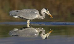 Blauwe reiger | Vogelbescherming.nl