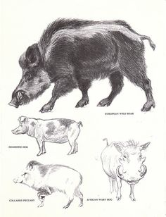 Vintage Wild Boar Hog Pecary Book Page from the by niminsshop