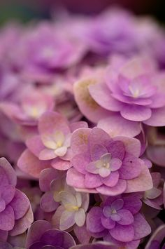 soft flowers- Hydrangeas