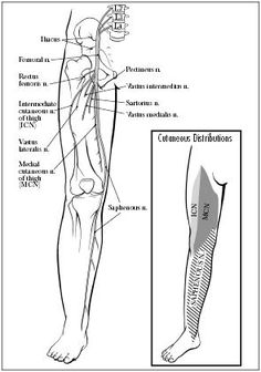femoral nerve | anatomy | pinterest | femoral nerve, Muscles