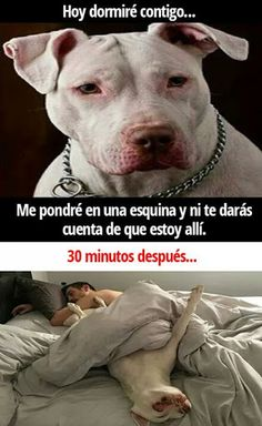 best ideas for funny dogs memes pitbull Funny Dog Memes, Funny Animal Memes, Funny Animal Pictures, Funny Dogs, Funny Animals, Cute Animals, New Memes, Super Funny, Funny Comics