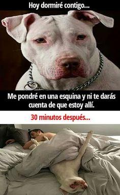 best ideas for funny dogs memes pitbull Funny Dog Memes, Funny Animal Memes, Funny Animal Pictures, Funny Images, Funny Dogs, Funny Animals, Cute Animals, Dog Pitbull, New Memes