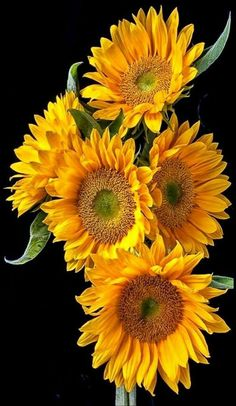 Sunflower♥