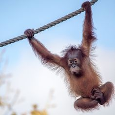 Jantho, getting to grips with the orangutan swing!