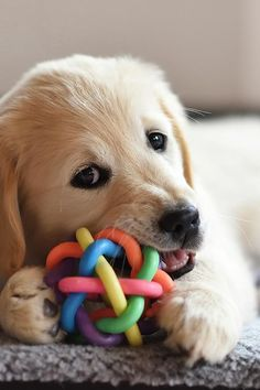 March 23 is National Puppy Day. Whether you're bringing home a new pooch or just want to celebrate with your dog, here are some great gifts to buy your best friend. Puzzle Toys Puzzle toys are excellent gifts for inquisitive dogs. There are different kinds of puzzle toys, but the thing they all have in […] Teach Dog Tricks, Tricks For Dogs, Best Dog Toys, National Puppy Day, Cleaning Toys, Dog Games, Dog Training Tips, Dog Commands Training, Baby Puppies