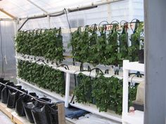 Drip irrigation strawberries in hanging planters.