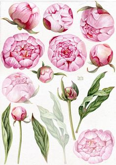 by Mary on Peony Drawing, Peony Painting, Watercolor Flowers, Watercolor Paintings, Watercolor Portraits, Watercolor Landscape, Abstract Paintings, Botanical Drawings, Botanical Art