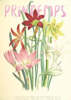 Bulbous Plants, British Library, Flourish, Photos, Place, Illustration, Poster, Painting, The Letterman