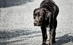 Download wallpapers 4k, black labrador, dogs, melancholy, cute animals, retriever